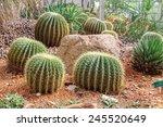 Golden Barrel Cactus In A...
