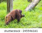 orangutan in sumatra  indonesia | Shutterstock . vector #245546161