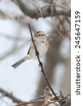 Small photo of American Tree Sparrow in Canadian Winter