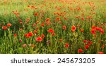Wild Poppies Among Grass And...