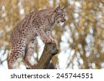 Eurasian Lynx Perched On Tree...