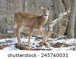 American White Tail Deer...