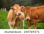 Portrait Of Two Cows
