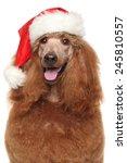 Royal Poodle In Santa Red Hat....