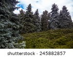 Landscape With Blue Spruces And ...