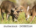 Two White Tailed Deer Bucks...