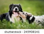 Stock photo old dog border collie and puppy playing in the summer 245908141
