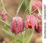 Fritillaria Meleagris  Snake\'s...