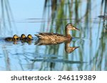 Wild Duck Mother With Childes ...