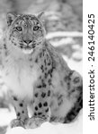 Snow Leopard In Black And Whit...