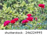 Stock photo red roses in the garden 246224995