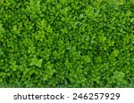 Evergreen Shrub Background