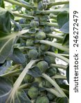 brussels sprouts  brassica... | Shutterstock . vector #246272479