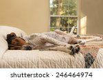 Stock photo treeing walker coonhound dog lying down inside on human bed with quilt looking tired lazy sleepy 246464974