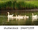 Domestic Ducks Swimming In The...
