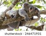koala relaxing in a tree ... | Shutterstock . vector #246471931