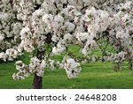 Crabapple tree in full bloom - stock photo