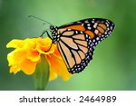 Beautiful Monarch Butterfly...