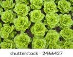 fresh pieces of butter lettuce... | Shutterstock . vector #2466427
