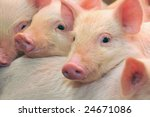 Pigs Who Are Photographed On...