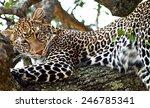 Wild Leopard Lying Sleeping On...