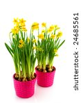 yellow daffodils in spring... | Shutterstock . vector #24685561