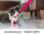 Stock photo playful domestic shorthair cat biting into a pink ribbon 246871894