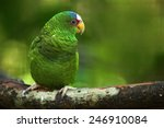Green Parrot White Fronted...