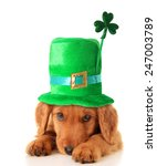 An Irish Setter Puppy Wearing ...