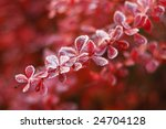 frosty leaves of barberry early ... | Shutterstock . vector #24704128