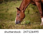 Horse Eating Grass On The Fiel...