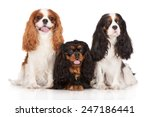 Three Cavalier King Charles...