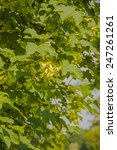 Small photo of Green Fruits Acer Pseudoplatanus (Sycamore Maple)