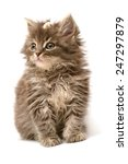 Stock photo little kitten with daisy flower isolated on white background 247297879