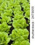 fresh pieces of butter lettuce... | Shutterstock . vector #2473055