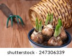 Young  Sprouting Tulips Grow I...