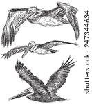 Pelican Sketches Sketchy  Brow...