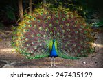 wild peacock goes in dark...