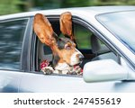 funny basset hound with ears up ... | Shutterstock . vector #247455619