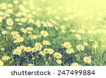 green grass and chamomile... | Shutterstock . vector #247499884