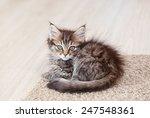 maine coon kitten lying on a... | Shutterstock . vector #247548361