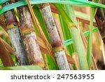 Sugarcane Stalks Grow At Field