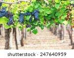 vineyards  argentina | Shutterstock . vector #247640959