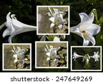 ������, ������: Lovely collage of Lilium