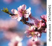 Small photo of spring almond tree pink flowers with branch and blue sky outdoors