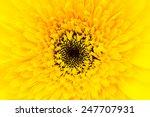 Close Up Gerbera Flower...