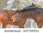 two fighting horses and biting | Shutterstock . vector #247739551