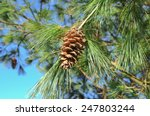 Pine Cone On A Pine Tree  Pinu...