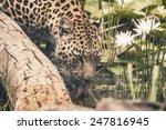 Headshot Of Leopard Drinking...