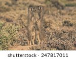 Two Meerkats Standing In The...